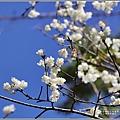 玉山神學院櫻花-2021-02-31.jpg