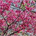 玉山神學院櫻花-2021-02-64.jpg
