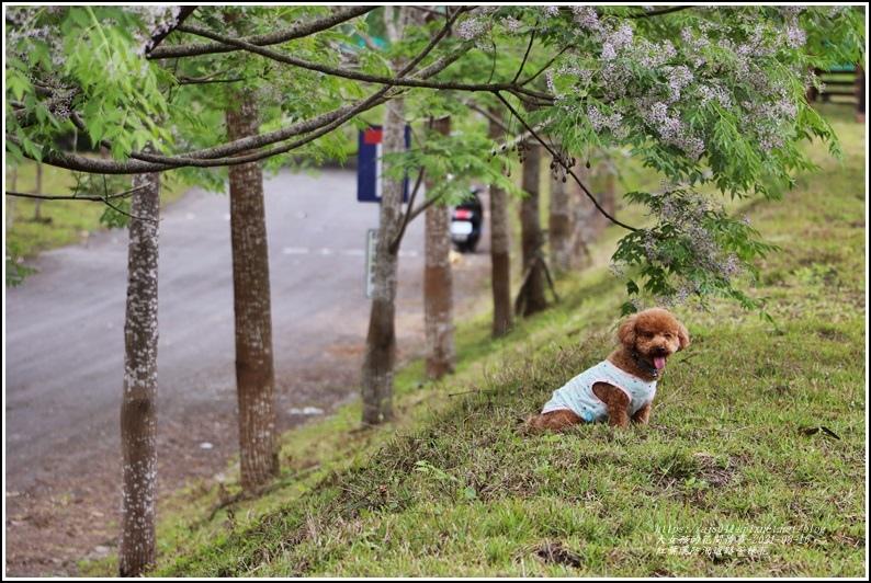 紅葉溪防汛道路苦楝花-2021-03-19.jpg