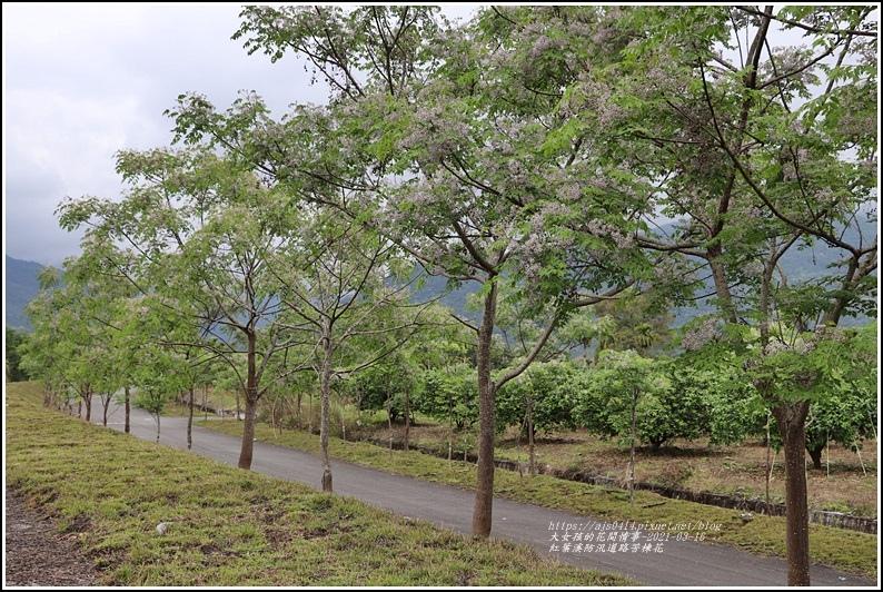 紅葉溪防汛道路苦楝花-2021-03-33.jpg