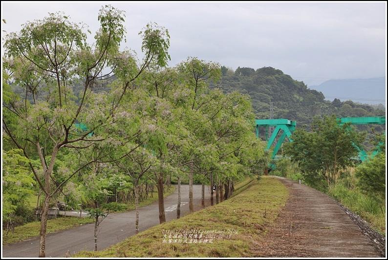紅葉溪防汛道路苦楝花-2021-03-43.jpg