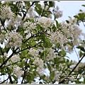 瑞北路段三月雪流蘇-2021-03-03.jpg
