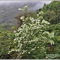 瑞北路段三月雪流蘇-2021-03-07.jpg