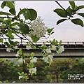 瑞北路段三月雪流蘇-2021-03-02.jpg