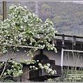 瑞北路段三月雪流蘇-2021-03-05.jpg