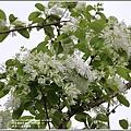 瑞北路段三月雪流蘇-2021-03-09.jpg