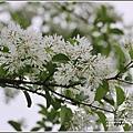 瑞北路段三月雪流蘇-2021-03-12.jpg