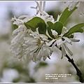瑞北路段三月雪流蘇-2021-03-13.jpg