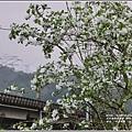 瑞北路段三月雪流蘇-2021-03-15.jpg