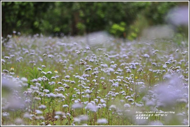 紫花藿香薊-2021-03-02.jpg