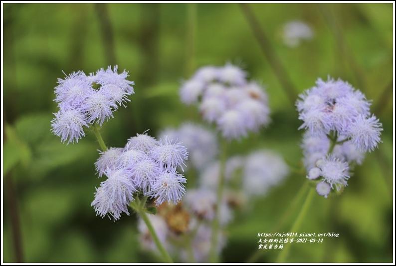 紫花藿香薊-2021-03-04.jpg
