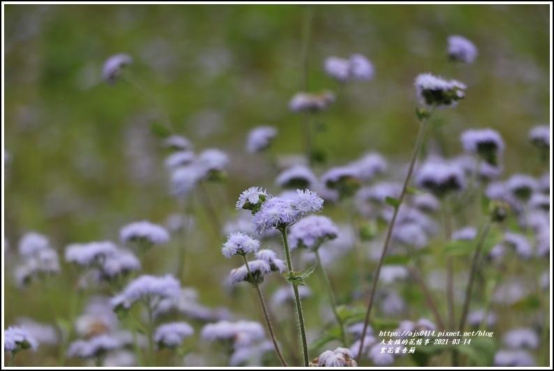 紫花藿香薊-2021-03-03.jpg