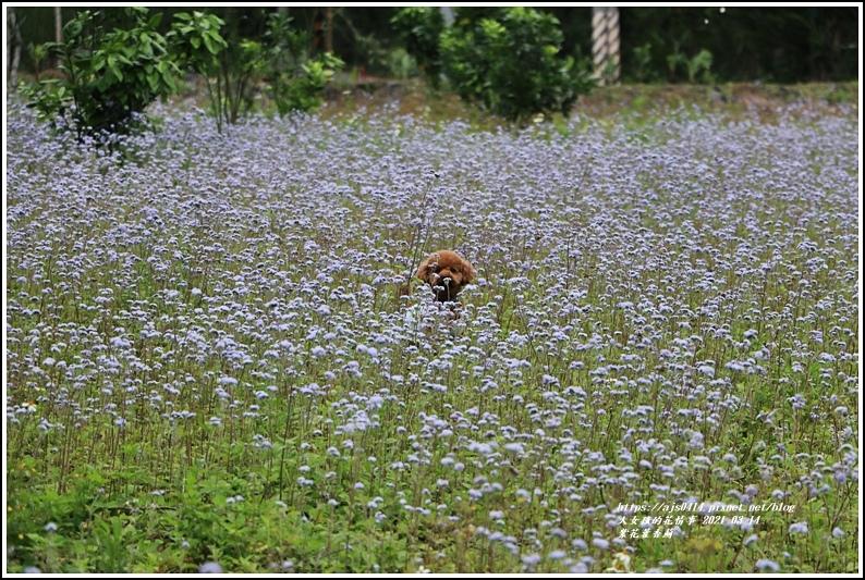 紫花藿香薊-2021-03-05.jpg