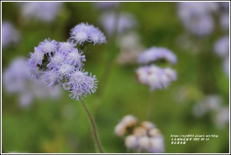 紫花藿香薊-2021-03-11.jpg