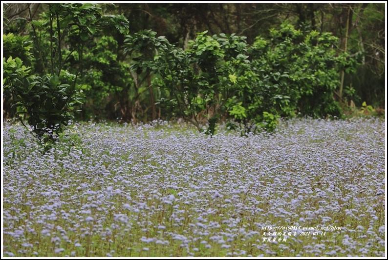 紫花藿香薊-2021-03-14.jpg