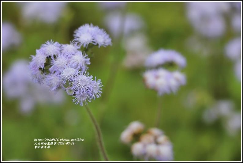 紫花藿香薊-2021-03-20.jpg