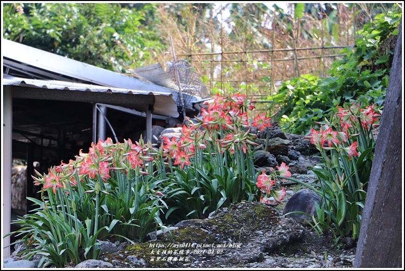 富里石牌孤挺花-2021-04-18.jpg