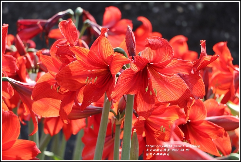 富里石牌孤挺花-2021-04-27.jpg