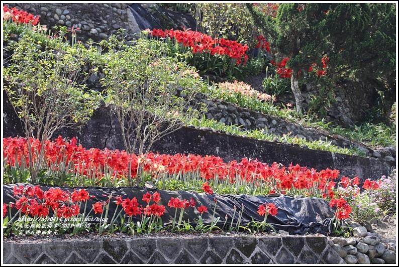 富里石牌孤挺花-2021-04-42.jpg