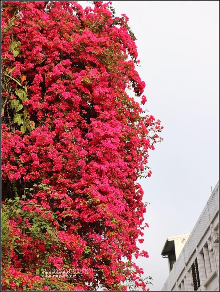 光復九重葛(松青鮮花店)-2021-03-06.jpg