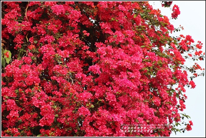光復九重葛(松青鮮花店)-2021-03-07.jpg
