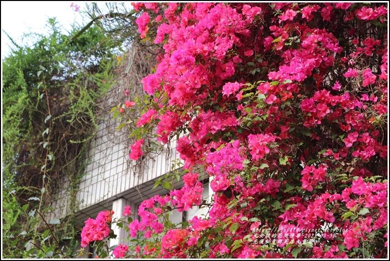 光復九重葛(松青鮮花店)-2021-03-17.jpg