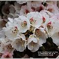合歡山小奇萊步道玉山杜鵑-2021-04-01.jpg