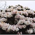 合歡山小奇萊步道玉山杜鵑-2021-04-02.jpg