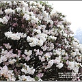 合歡山小奇萊步道玉山杜鵑-2021-04-04.jpg