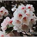 合歡山小奇萊步道玉山杜鵑-2021-04-08.jpg