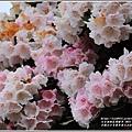 合歡山小奇萊步道玉山杜鵑-2021-04-12.jpg