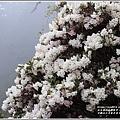 合歡山小奇萊步道玉山杜鵑-2021-04-06.jpg