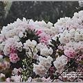 合歡山小奇萊步道玉山杜鵑-2021-04-09.jpg