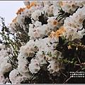 合歡山小奇萊步道玉山杜鵑-2021-04-10.jpg