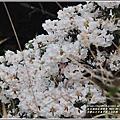 合歡山小奇萊步道玉山杜鵑-2021-04-17.jpg
