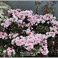 合歡山小奇萊步道玉山杜鵑-2021-04-15.jpg