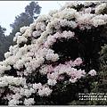 合歡山小奇萊步道玉山杜鵑-2021-04-18.jpg