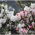 合歡山小奇萊步道玉山杜鵑-2021-04-21.jpg
