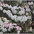 合歡山小奇萊步道玉山杜鵑-2021-04-25.jpg
