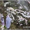 合歡山小奇萊步道玉山杜鵑-2021-04-26.jpg