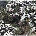 合歡山小奇萊步道玉山杜鵑-2021-04-29.jpg