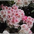 合歡山小奇萊步道玉山杜鵑-2021-04-32.jpg