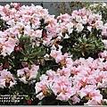 合歡山小奇萊步道玉山杜鵑-2021-04-30.jpg