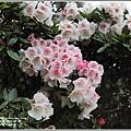 合歡山小奇萊步道玉山杜鵑-2021-04-31.jpg