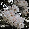 合歡山小奇萊步道玉山杜鵑-2021-04-36.jpg