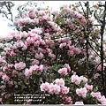 合歡山小奇萊步道玉山杜鵑-2021-04-40.jpg