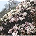合歡山小奇萊步道玉山杜鵑-2021-04-39.jpg