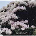 合歡山小奇萊步道玉山杜鵑-2021-04-41.jpg