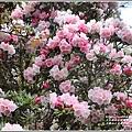合歡山小奇萊步道玉山杜鵑-2021-04-38.jpg