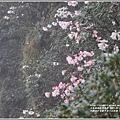 合歡山小奇萊步道玉山杜鵑-2021-04-101.jpg